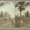 Golden Vale Plantation, near Port Antonio, Jamaica.