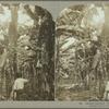 Cutting Bananas, Jamaica. (1)
