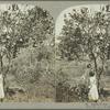 Shaddock tree, Jamaica.