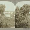 Annatto trees, Jamaica.