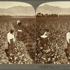 Picking cotton with Chinese labor on irrigated land at the foot of the Andes, Vitarte, Peru.