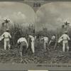Cutting the Sugar Cane, Rio Perdo, Porto Rico.