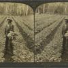 A celery patch in the hammock land near Manatee, Florida, U. S. A.