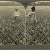 A Pineapple Field, Southern Florida, U. S. A.