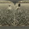A Pineapple Field, Southern Florida, U. S. A.