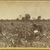 Plantation Scene: Picking Cotton