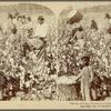 Cotton is King, Plantation Scene, Georgia, U. S. A.
