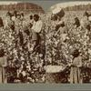 Cotton is King -- Plantation Scene, Georgia.