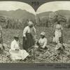 Sugar Cane. Preparing Cane Stocks for Replanting, St. Kitts, B. W. I.
