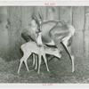 Amusements - Shows and Attractions - Frank Buck's Jungleland - Blesbok antelope with fawn