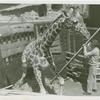 Amusements - Shows and Attractions - Frank Buck's Jungleland - Giraffe