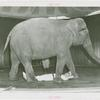 Amusements - Shows and Attractions - Frank Buck's Jungleland - Elephants - Walking over man