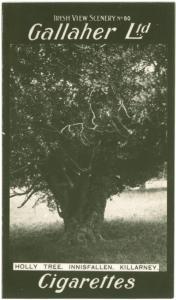 Holly tree, Innisfallen, Killarney.