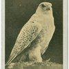Greenland Falcon.