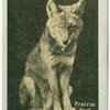 Prairie Wolf.