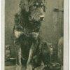 Thibetan Mastiff.