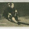 Ruffed Lemur.