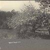 Apple blossoms, West Hills, L.I.