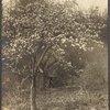 Apple tree near Jayne Hill, West Hills, N.Y.]