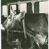 Borden - Cows - Close-up