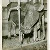 Borden - Cows - Drinking