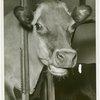 Borden - Cows - Close-up of head