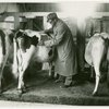 Borden - Cows - Veterinarian examination