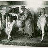 Borden - Cows - Veterinarian examination
