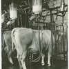 Borden - Cows - Milking - Cow being milked