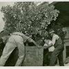 Florida Participation - Men moving an orange tree