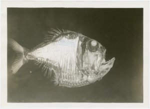 New York Zoological Society - Silver hatchetfish