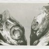 New York Zoological Society - Two Silver hatchetfish