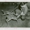New York Zoological Society - Deer being fed by keeper