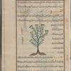 Spicknel, spignel (Meum athamanticum), athâmantîqûn, i.e., al-maww, fol. 21