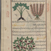 Celtic nard (Valeriana celtica), al-sunbul al-rûmî [top right]; Monuntain nard (Valeriana tuberosa), sunbul jabalî [top left]; Wild spikenard (Asarum europaeum), asârûn [bottom], fol. 23