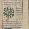 Cretan spikenard (Valeriana phu), faww [top]; Malabar leaf (Cinnamomum tamala), sâdhaj hindî [bottom], fol. 23v
