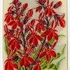 Cardinal's Lobelia (Distinction.)