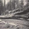 Yosemite stage on Fallen Monarch, Mariposa Grove