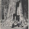 Man on a wagon passing through a tunnel in a sequoia tree]