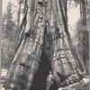 A big tree (Sequoia Gigantea), Mariposa Grove