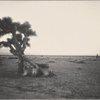 Yucca Palms, Mojave Desert