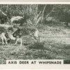 Axis deer at Whipsnade.