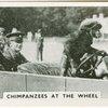 Chimpanzees at the wheel.