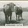 Afrikander cattle.