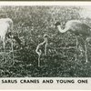 Sarus cranes and young one.
