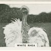 White rhea.