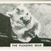 The pleading bear.