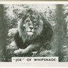 """Joe"" of Whipsnade."