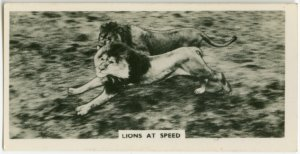 Lions at speed.