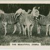 The beautiful zebra.